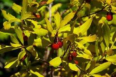 草莓树11 库存照片