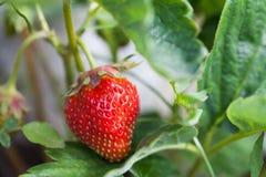 草莓植物在庭院里 有机食品概念用被构造的成熟红色莓果 浅景深,软的焦点 图库摄影