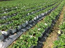 草莓植物在庭院里 免版税库存照片