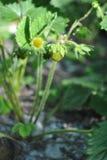 草莓植物用第一个绿色莓果,有机耕田 库存照片
