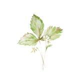 草莓植物的水彩例证剪影与被隔绝的花和绿色叶子的绘了在白色的草本 向量例证