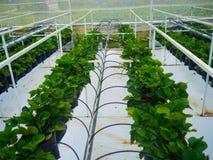 年轻草莓植物自温室,泰国 免版税库存照片