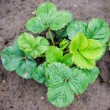 草莓植物 免版税库存照片
