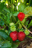 草莓植物 库存照片