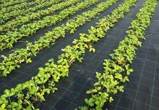 草莓植物 库存图片