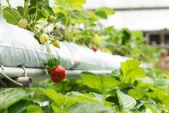 草莓植物 免版税图库摄影