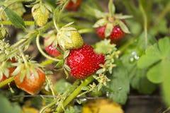 草莓植物 免版税库存图片
