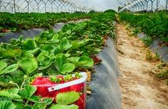 草莓欢欣01 库存图片