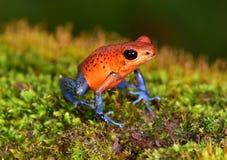 草莓毒物箭青蛙, cahuita,哥斯达黎加蓝色牛仔裤 库存图片