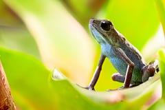 草莓毒物箭青蛙 免版税库存图片