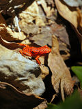 草莓毒物箭青蛙Oophaga pumilio 免版税图库摄影