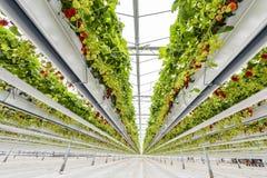 草莓温室在Gravenzande 免版税库存图片