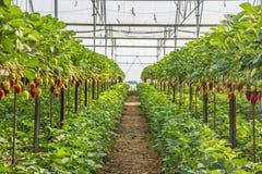 草莓温室 免版税库存照片