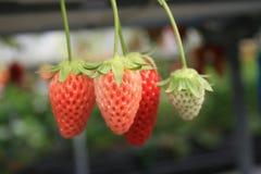草莓灌木在庭院里增长 免版税库存照片