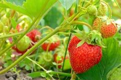 草莓灌木在庭院里 图库摄影