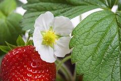 草莓灌木植物的宏指令 图库摄影