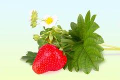 草莓灌木特写镜头 图库摄影