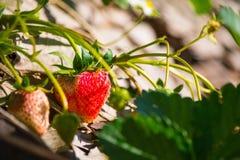 草莓特写镜头与白花的在庭院里 免版税库存图片