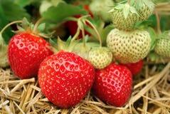 草莓生长 库存照片