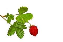 草莓白色 免版税库存照片