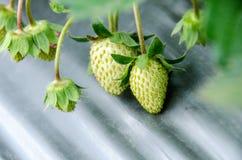 草莓的布什 图库摄影