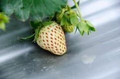 草莓的布什 库存照片