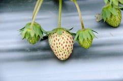 草莓的布什 库存图片