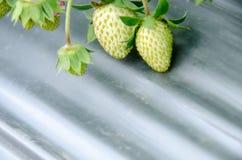 草莓的布什 免版税图库摄影