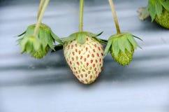 草莓的布什 免版税库存照片