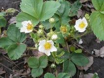 草莓的开花的灌木 免版税库存图片