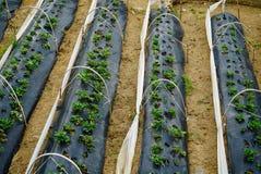 草莓的耕种在巴厘岛 免版税库存图片