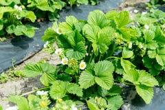 草莓的绿色灌木的图象 种植草莓在农业的灌木技术 库存图片