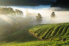 草莓种植园在北泰国 图库摄影