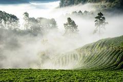 草莓种植园在北泰国 库存图片