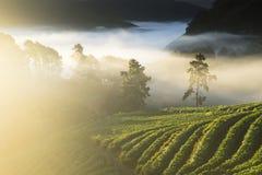 草莓种植园在北泰国 免版税库存图片