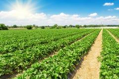 草莓种植园 免版税图库摄影