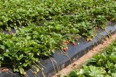 草莓种田 库存图片