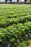 草莓种田 免版税图库摄影