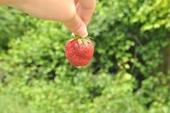 草莓红色 免版税图库摄影