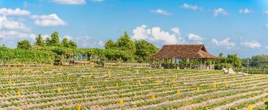草莓耕种,部分地报道用霜冻保护 免版税库存照片