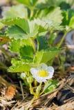 草莓花卉生长在藤 免版税库存图片