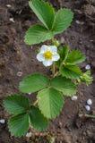 草莓花在庭院里 免版税库存图片