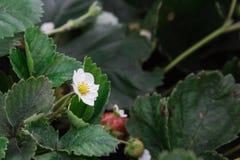 草莓花在绿色叶子背景的庭院里  库存照片