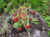 草莓花束在一个老树桩的在森林 免版税库存图片