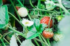 草莓花 成熟草莓在反对的庭院里 免版税库存图片