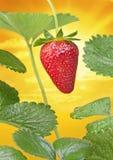 草莓草莓太阳天空 免版税库存照片