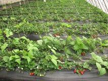 草莓采摘 免版税库存图片