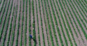 草莓领域,大领域,种植园,草莓连续 在美丽的草莓农场的早晨 在大种植园的鸟瞰图  股票录像
