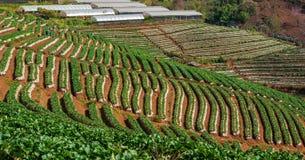 草莓领域 免版税库存图片