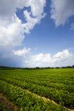 草莓领域 图库摄影